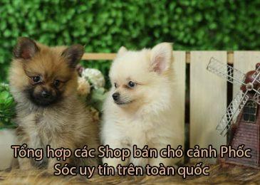 Top 5 Shop bán chó cảnh Phốc Sóc xinh cực kỳ