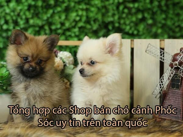 Top [5] shop bán Chó Cảnh Phốc Sóc Xinh Cực Kỳ