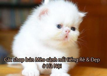 Top 5 shop bán Mèo cảnh nổi tiếng Rẻ và Đẹp ở Hà Nội