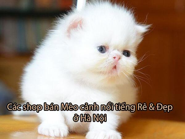 Top [5] shop bán Mèo cảnh nổi tiếng Rẻ & Đẹp ở Hà Nội