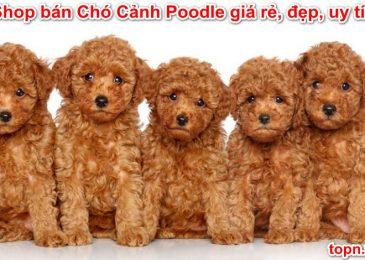 Top 11 shop bán Chó Cảnh Poodle – Giá Rẻ Đẹp Uy Tín