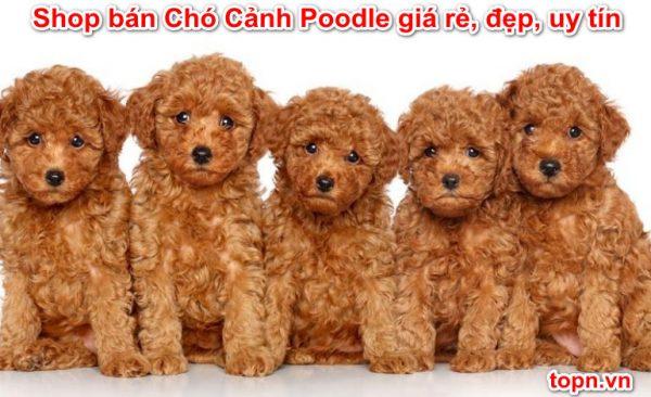 Shop bán Chó Cảnh Poodle giá rẻ, đẹp, uy tín