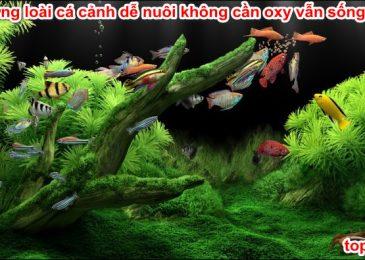 Top 13 loài Cá Cảnh dễ nuôi không cần oxy vẫn sống tốt