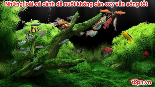 Những loài cá cảnh dễ nuôi không cần oxy vẫn sống tốt
