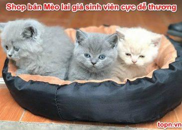 Top 12 shop bán Mèo lai giá sinh viên Cực Dễ Thương