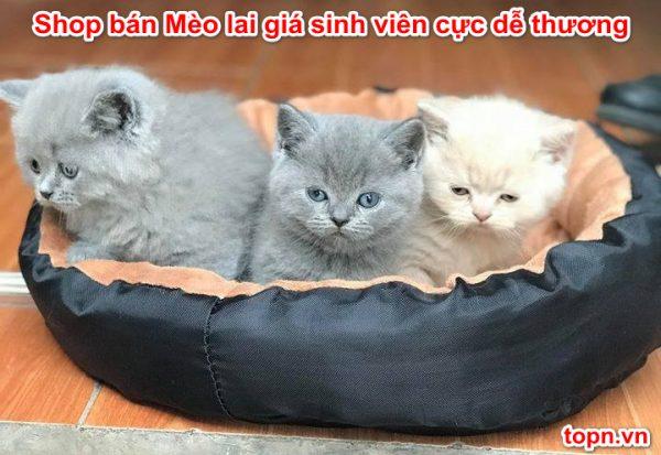 Shop bán Mèo lai giá sinh viên Cực Dễ Thương