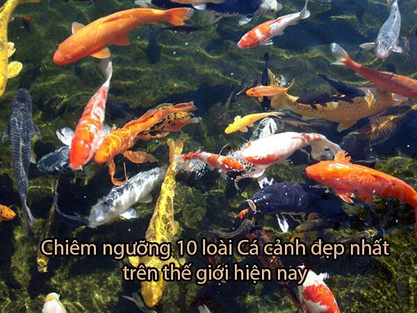 Chiêm ngưỡng 10 loài Cá cảnh đẹp nhất trên thế giới hiện nay