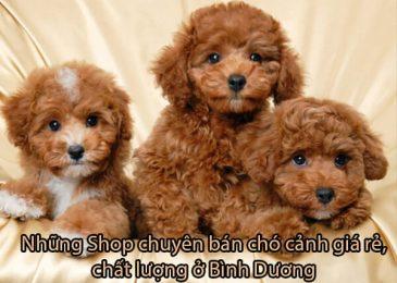 Top 4 shop bán Chó Cảnh Bình Dương – Giá Rẻ Đẹp Uy Tín