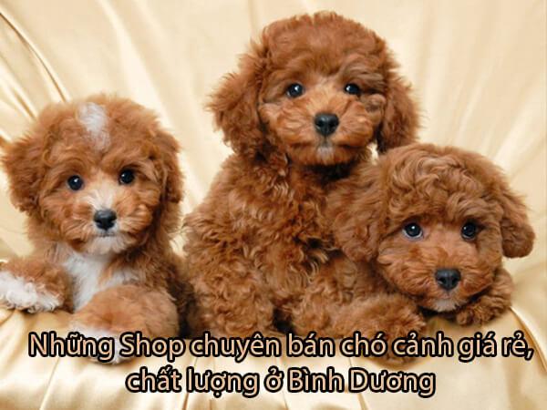 Top [4] shop bán Chó Cảnh Bình Dương - Giá Rẻ Đẹp Uy Tín